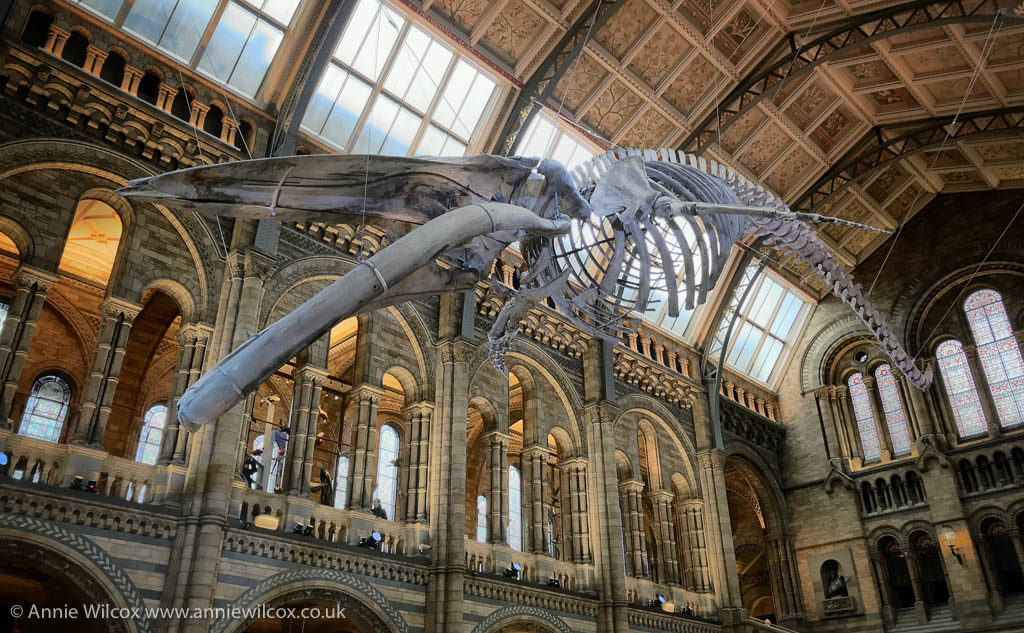 Annie_Wilcox_Photography_travelling_with_a_camera_London_Natural_History_Museum_Hintze_Hall_Blue_Whale_skeleton_Hinzte_Hall