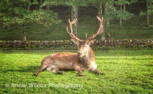 red deer stag in Applecross